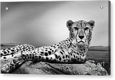 Acrylic Print featuring the photograph The Cheetah by Christine Sponchia