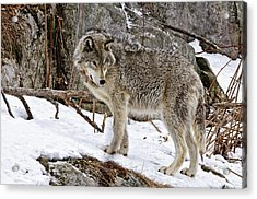 Timber Wolf In Winter Acrylic Print by Michael Cummings