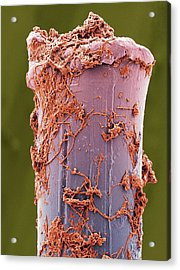 Used Toothbrush Bristle, Sem Acrylic Print by Steve Gschmeissner