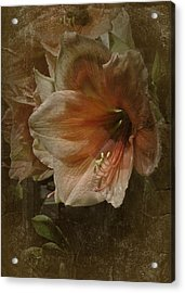 Acrylic Print featuring the photograph Vintage Amaryllis by Richard Cummings