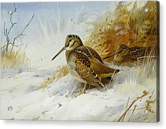 Winter Woodcock Acrylic Print by Archibald Thorburn