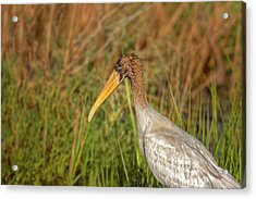 Acrylic Print featuring the photograph Wood Stork by Peter Lakomy