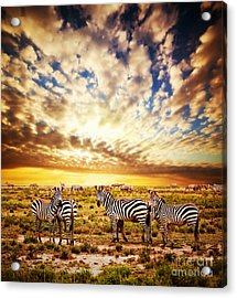 Zebras Herd On African Savanna At Sunset. Acrylic Print