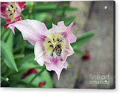Nice Tulip Acrylic Print