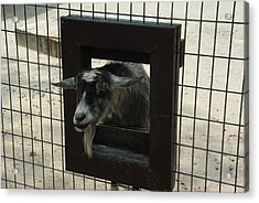 Acrylic Print featuring the photograph 3d Tv Goat 1 by Robyn Stacey