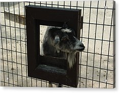 Acrylic Print featuring the photograph 3d Tv Goat 2 by Robyn Stacey