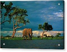 African Elephant Loxodonta Africana Acrylic Print by Beverly Joubert