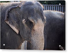 Asian Elephant Acrylic Print by Thea Wolff