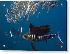 Atlantic Sailfish Istiophorus Albicans Acrylic Print