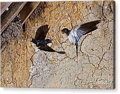 Barn Swallow Hirundo Rustica Acrylic Print by Gerard Lacz