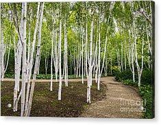 Birch Trees Acrylic Print by Svetlana Sewell
