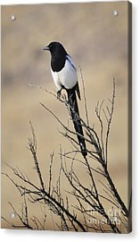 Black-billed Magpie Acrylic Print by Dennis Hammer