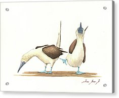 Blue Footed Boobies Acrylic Print by Juan Bosco