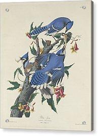 Blue Jay Acrylic Print by Anton Oreshkin
