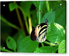 Butterfly No. 4 Acrylic Print