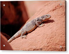 Acrylic Print featuring the photograph Chuckwalla, Sauromalus Ater by Breck Bartholomew