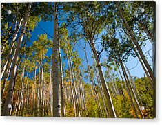 Colorado Aspens Acrylic Print by Terry Runion