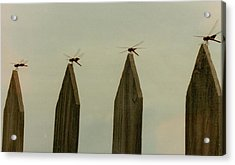 4 Dragon Flies...... Acrylic Print