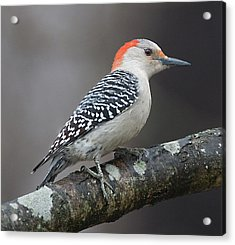 Female Red-bellied Woodpecker Acrylic Print