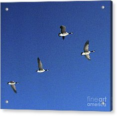 4 Geese In Flight Acrylic Print