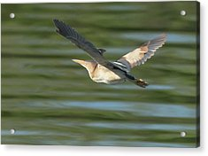 Least Bittern Acrylic Print by Tam Ryan