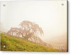 Acrylic Print featuring the photograph Miharu Takizakura Weeping Cherry05 by Tatsuya Atarashi