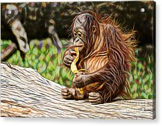 Orangutan Collection Acrylic Print by Marvin Blaine