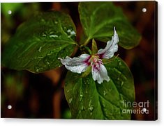 Acrylic Print featuring the photograph Painted Trillium  by Thomas R Fletcher