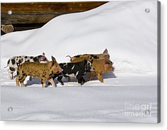 Piglets In The Snow Acrylic Print