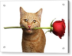 Portrait Of Ginger Cat Brought Rose As A Gift Acrylic Print