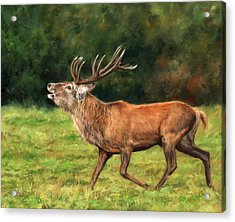 Red Deer Stag Acrylic Print by David Stribbling