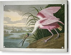 Roseate Spoonbill Acrylic Print by Rob Dreyer