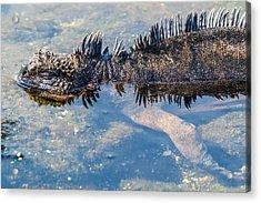 Santiago Marine Iguana Acrylic Print by Harry Strharsky