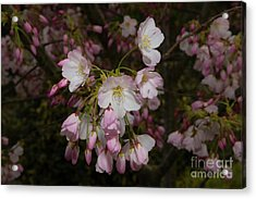 Silicon Valley Cherry Blossoms Acrylic Print