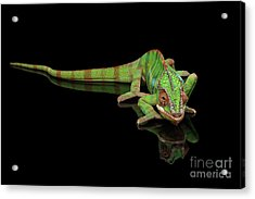 Sneaking Panther Chameleon, Reptile With Colorful Body On Black Mirror, Isolated Background Acrylic Print