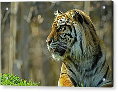 Acrylic Print featuring the photograph Sumatran Tiger by JT Lewis