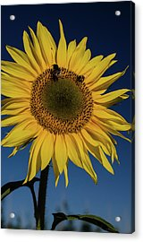 Sunflower Fields Acrylic Print