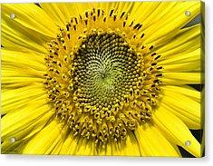 Sunflower Acrylic Print by Fran Gallogly