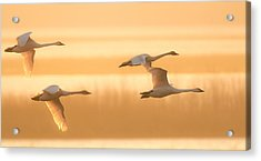 Acrylic Print featuring the photograph 4 Swans by Kelly Marquardt