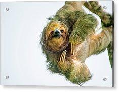 Three-toed Sloth Bradypus Tridactylus Acrylic Print by Panoramic Images