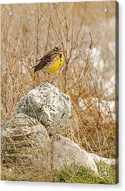 Western Meadowlark Acrylic Print by Dennis Hammer