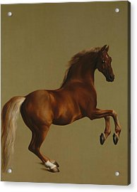 Whistlejacket Acrylic Print