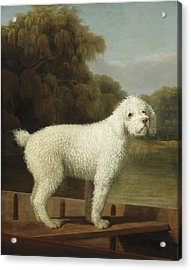 White Poodle In A Punt Acrylic Print