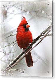 4772-001 - Northern Cardinal Acrylic Print by Travis Truelove