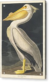 American White Pelican Acrylic Print by Dreyer Wildlife Print Collections