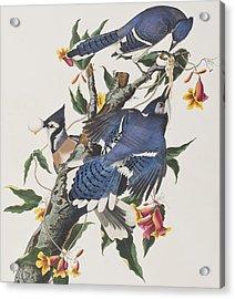 Blue Jay Acrylic Print by John James Audubon