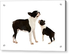Boston Terrier Dog Acrylic Print
