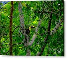 Chestnut-mandibled Toucan Acrylic Print