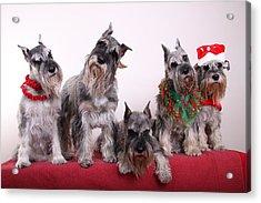 5 Christmas Schnauzers Acrylic Print by Bill Schmitt