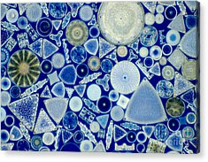 Diatoms Acrylic Print by M. I. Walker